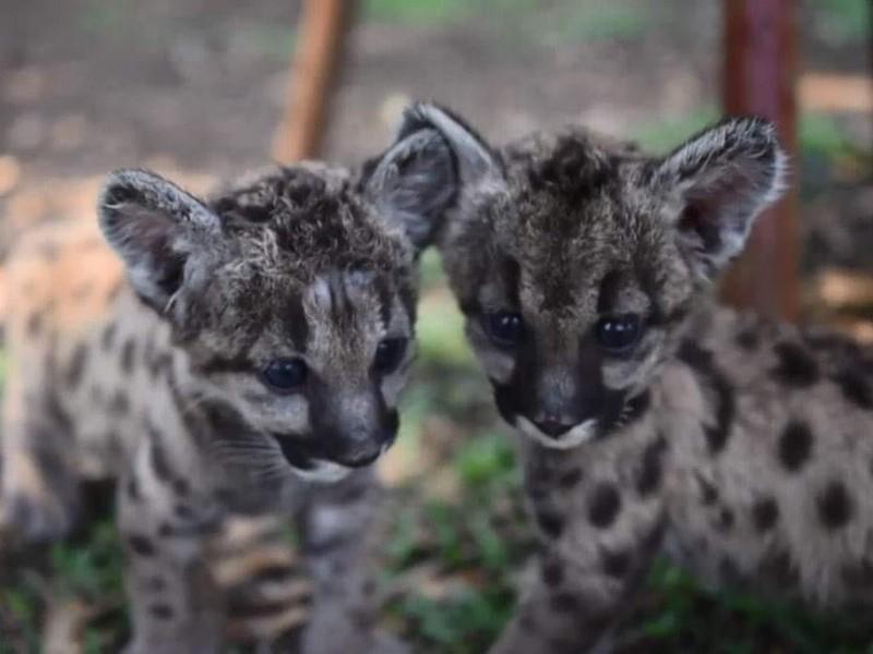 Nacen dos pumas americanos en zoológico de Córdoba.