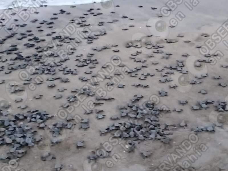 Nacen más de 700 tortugas en Nuevo Vallarta