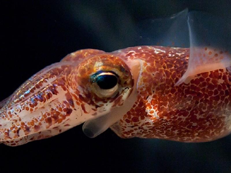 NASA envía al espacio calamares que brillan en la oscuridad
