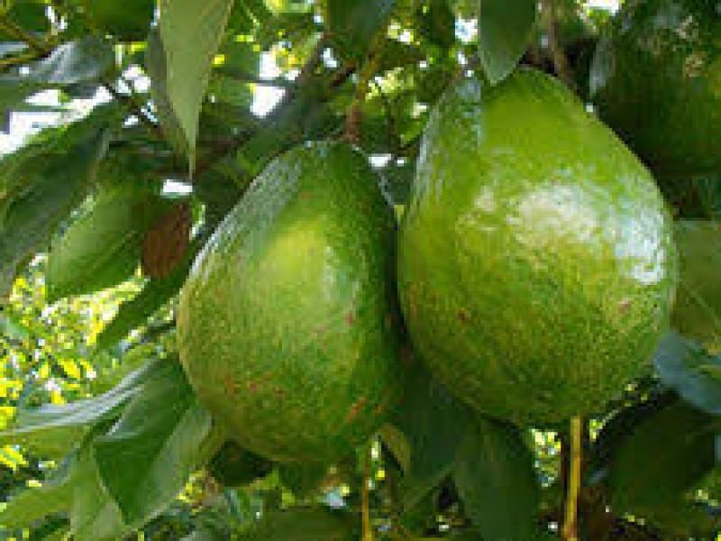 Nayarit comenzará a exportar aguacate