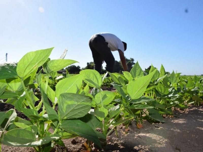 Nayarit entre los 5 mayores productores de frijol en México