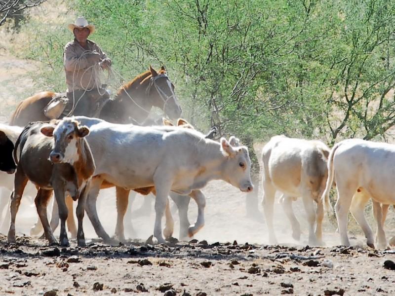 Ni el COVID-19 detiene a los ganaderos en Sonora