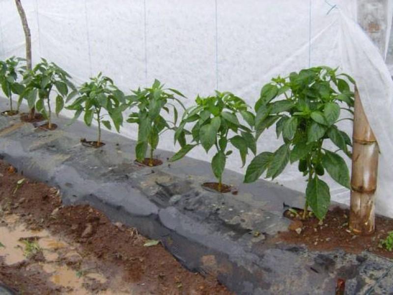 No reportan productores agrícolas afectaciones por frío
