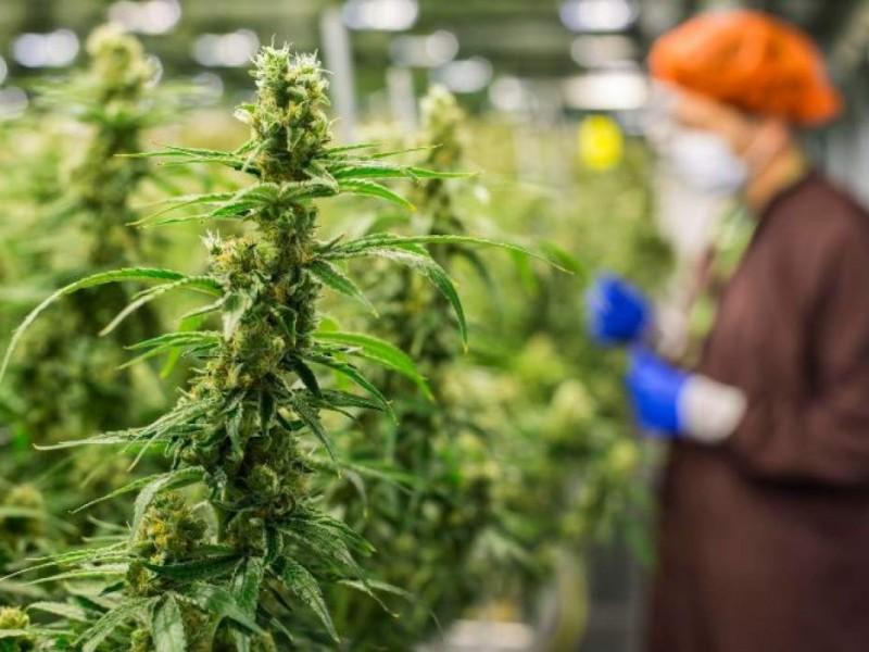 ONU retira al cannabis de lista de drogas más peligrosas