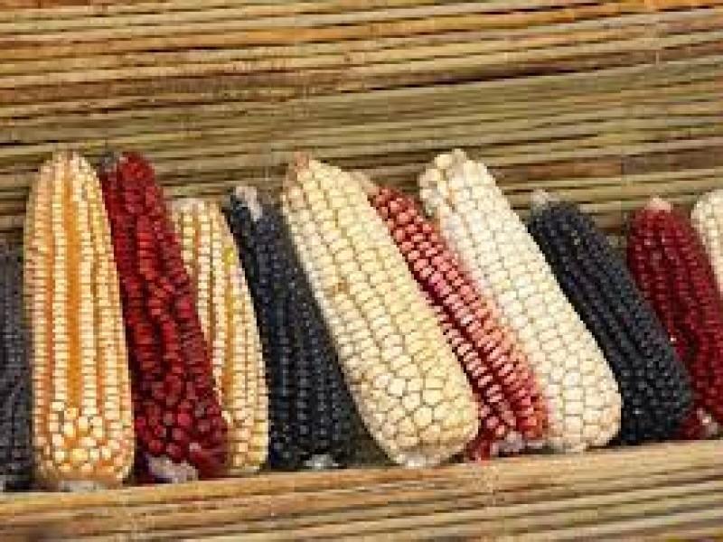 Organización alista exposición de 10 clases de maíz: Tehuacán