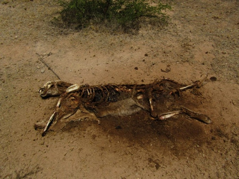 Indaga ONG mundial atropellamiento de puma en Sonora