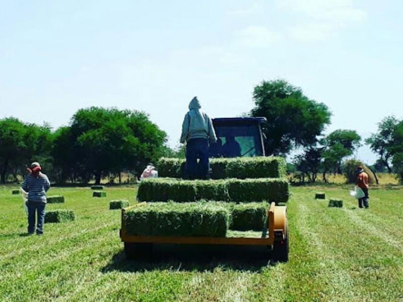 Pacas de alfalfa llegan a 140 pesos por sequia