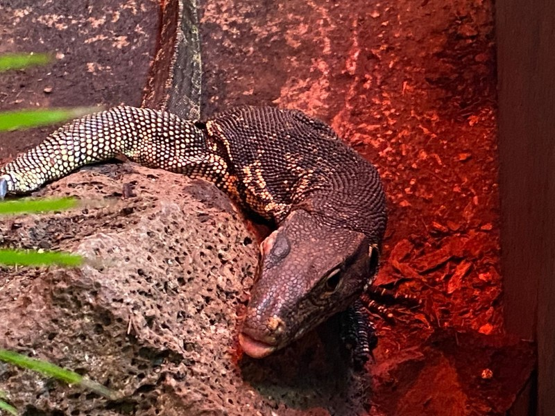 Pequeño reptil se suma al Zoológico de Morelia
