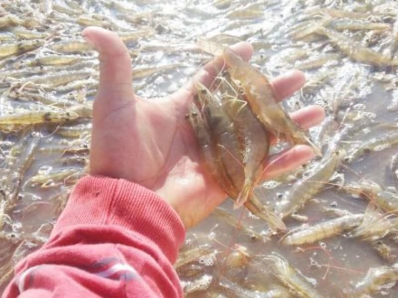 Pescadores buscan producir camarón de estanque