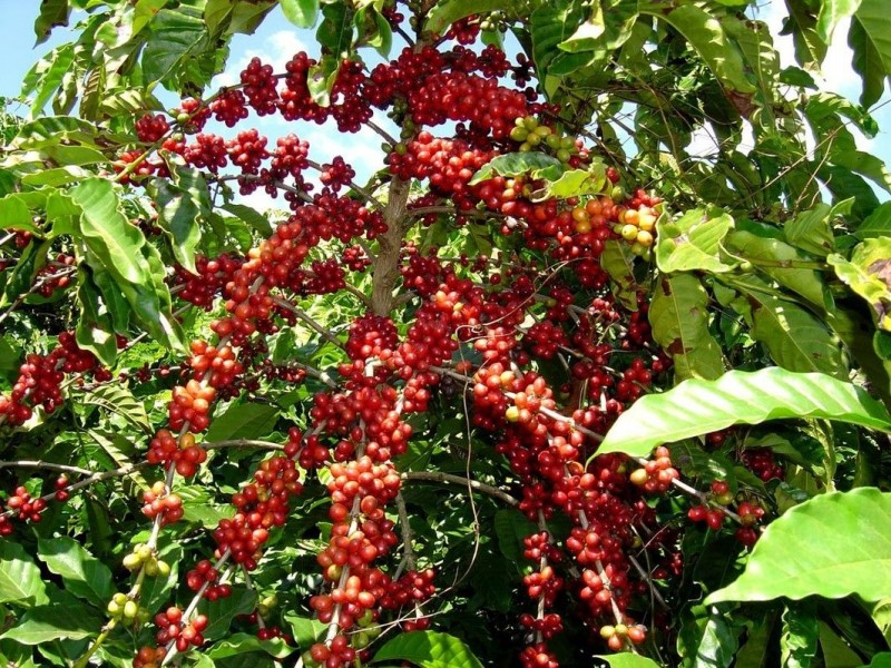 Pese a pandemia, Chiapas encabeza producción de café