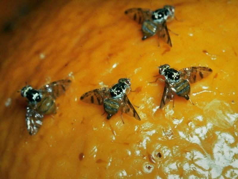 Piden contundencia para erradicar mosca del mediterráneo