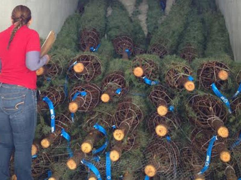 Pinos de navidad pueden tener plagas barrenadoras