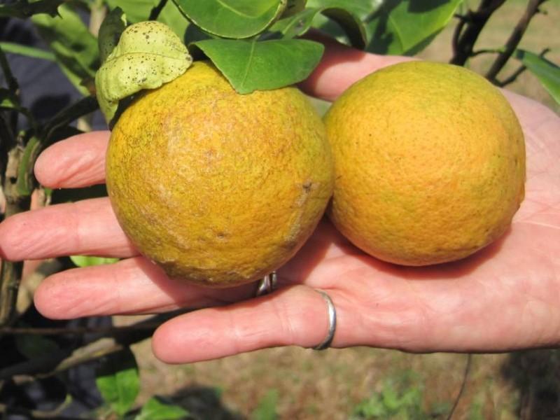 Plaga acaba con plantación citrícola