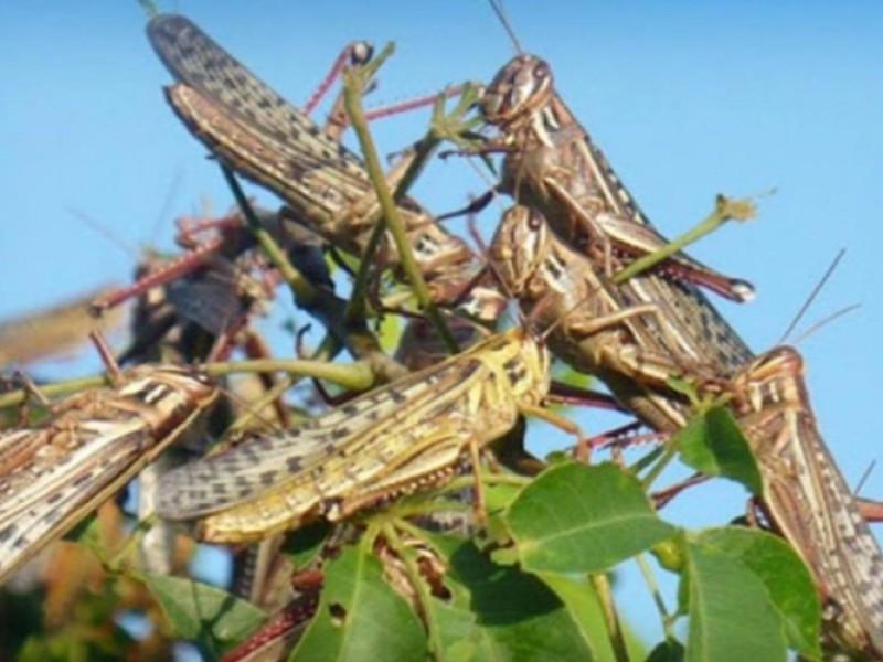 Plaga de langostas amenaza cultivos de Zentla
