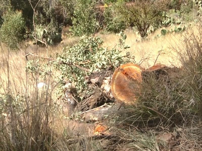 Plantarán 50 árboles en Fraccionamiento Bosques La Encantada