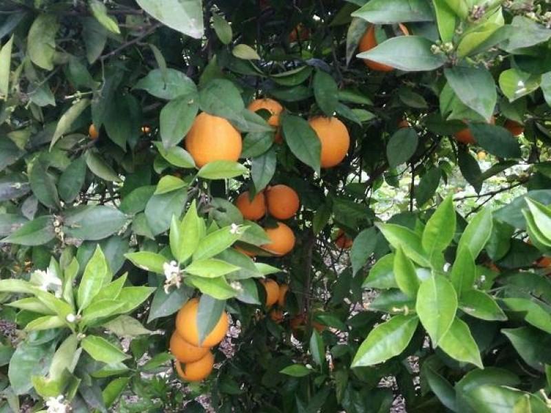Poca producción de naranjas mayeras