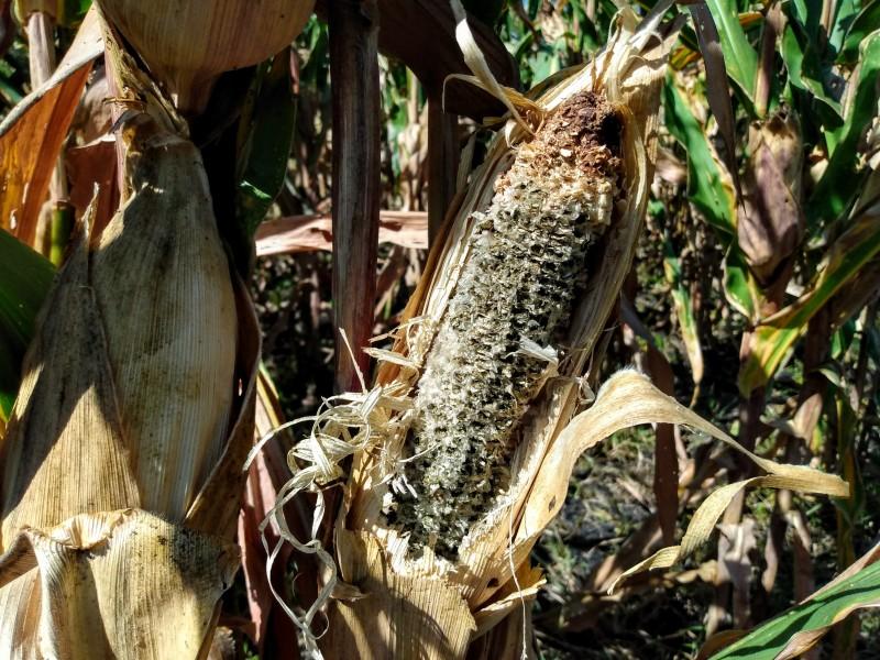 Pocas lluvias afectan cultivos de temporal en Jacona