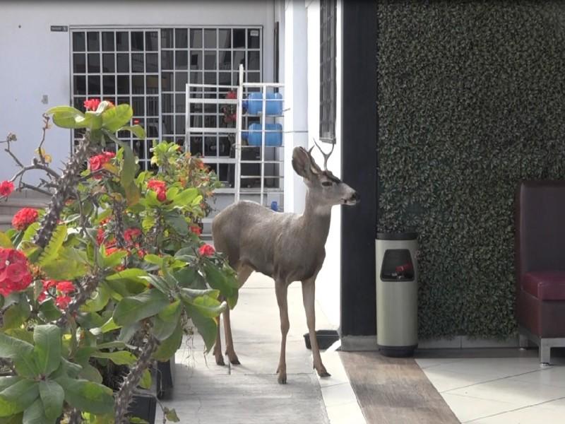 Poco común que baje fauna silvestre a zonas urbanas: UABCS