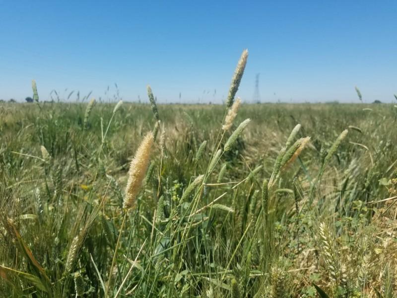 Podria haber riesgo en produccion de trigo