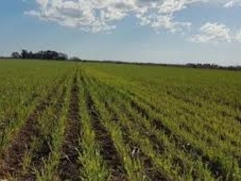 Podrían dejar de sembrar 80 mil hectáreas en Cajeme