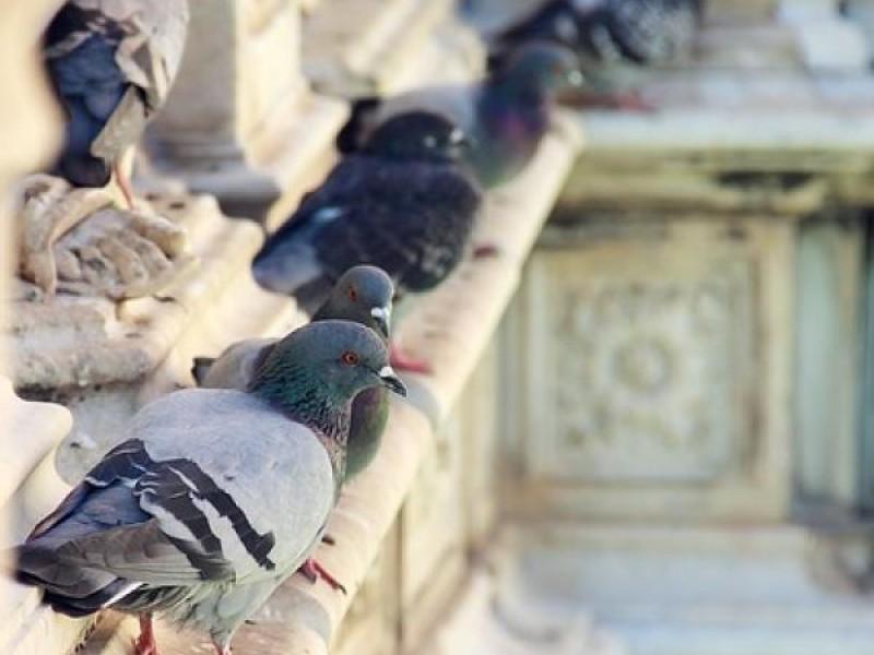 Por aprobarse uso de gel contra palomas en Torreón