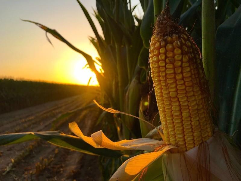 Por concluir trillas de maíz en Guasave