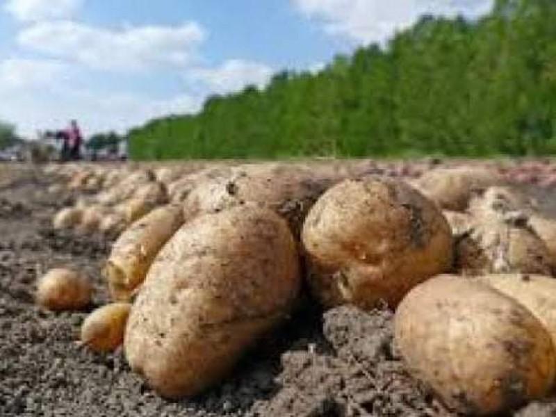 Por escasez de lluvias disminuye rendimiento de cultivos de papa
