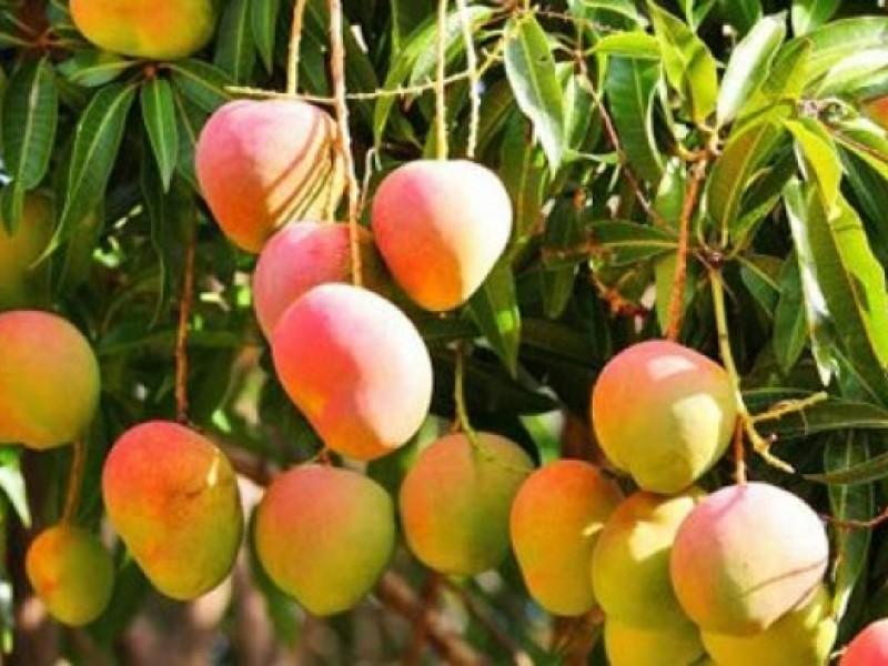 Por iniciar cosecha de mango en la zona norte