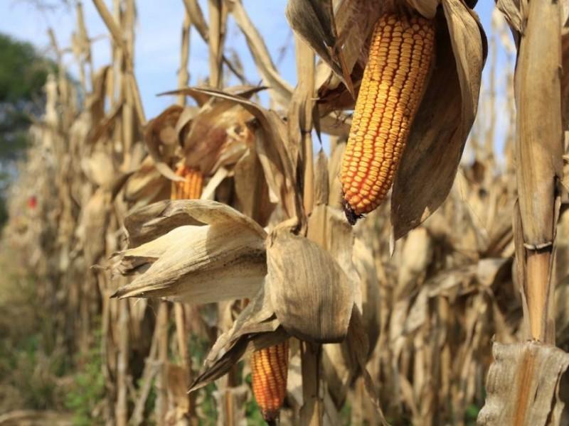Por segundo día maíz supera los 5 mil pesos