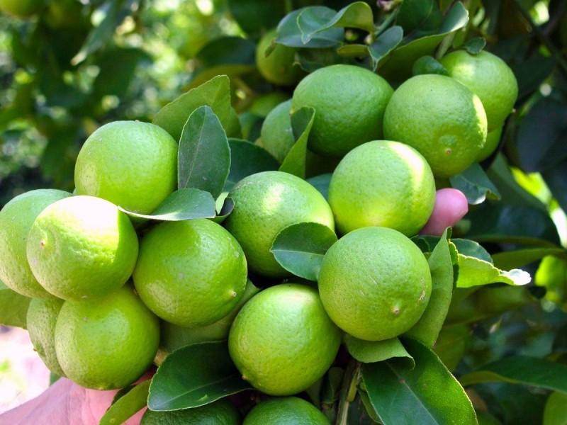 Precio de limón persa, a las nubes