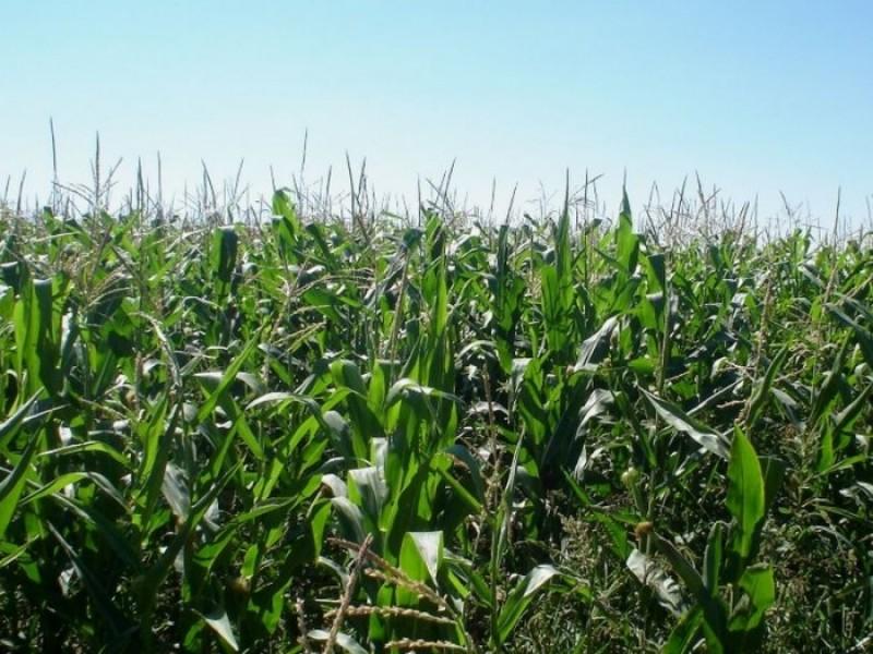 Precio del maíz arriba de los 5 mil pesos