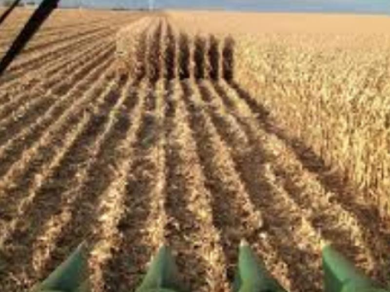 Preocupa a productores bajo precio del maíz