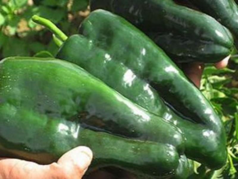 Preocupa a productores de Chile miahuateco exceso de lluvia