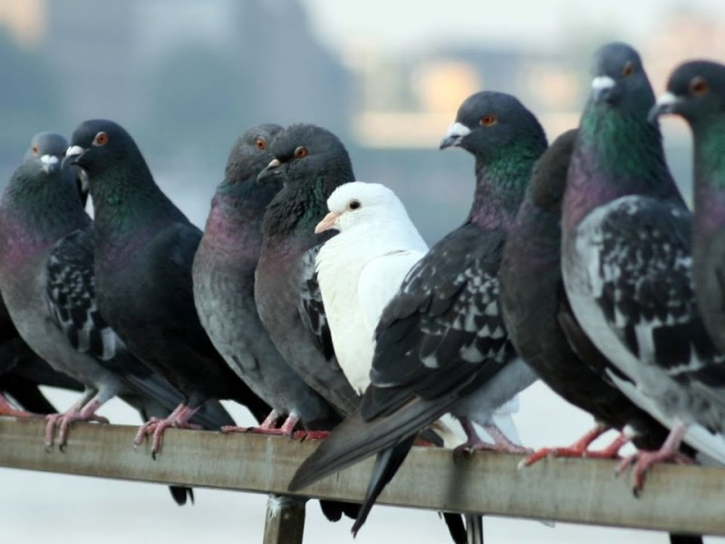 Preocupa a Salud Municipal plaga de palomas