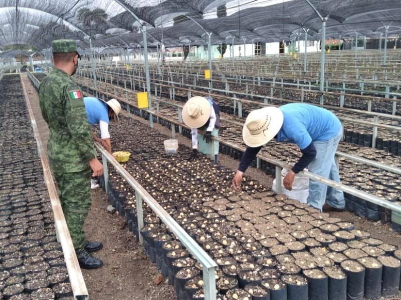 Preparan 231 mil árboles frutales en vivero militar de Ameca