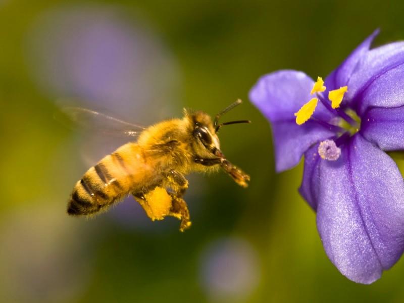 Preparan ley para la protección de la abeja