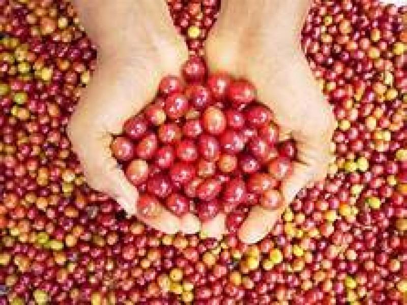 Producción de café repuntó en 2020 pese a pandemia