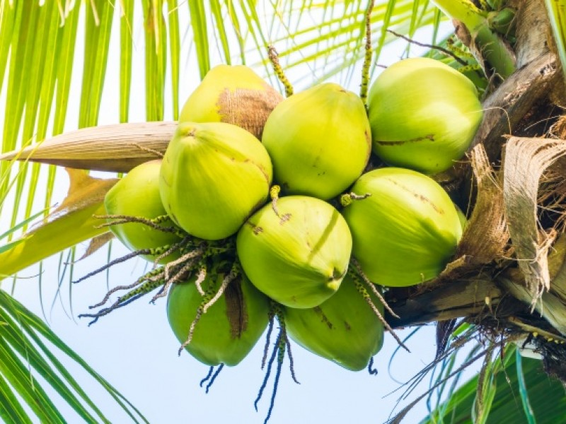 Producción de coco se desploma en Mazatán