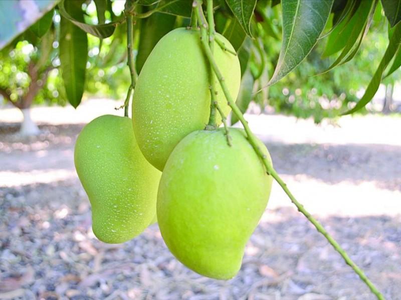 Producción de frutas y granos a la baja en Chiapas