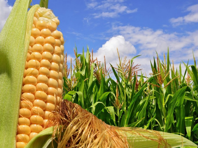 Productores buscan mejorar sus cosechas
