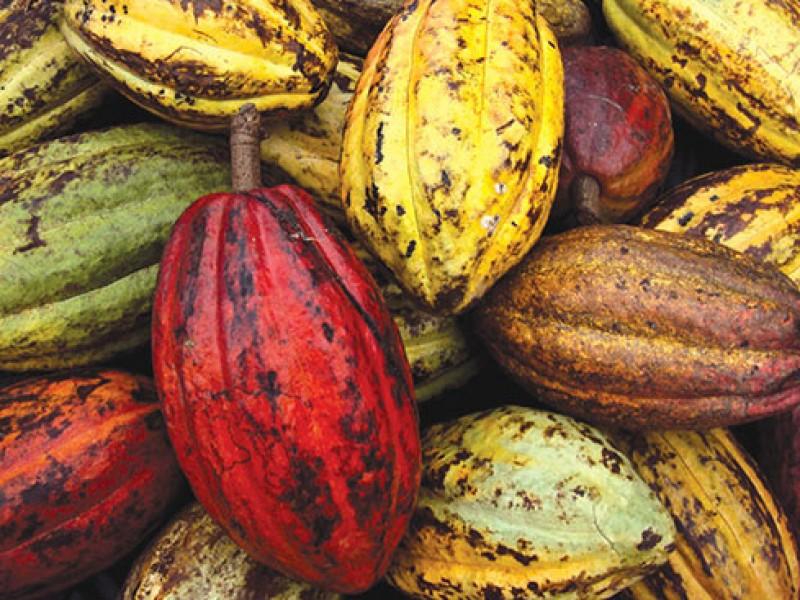 Productores de cacao en Chiapas piden apoyo de fertilizantes