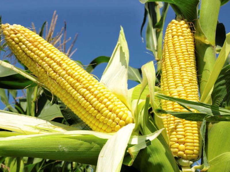 Productores de granos, piden precios justos de garantía