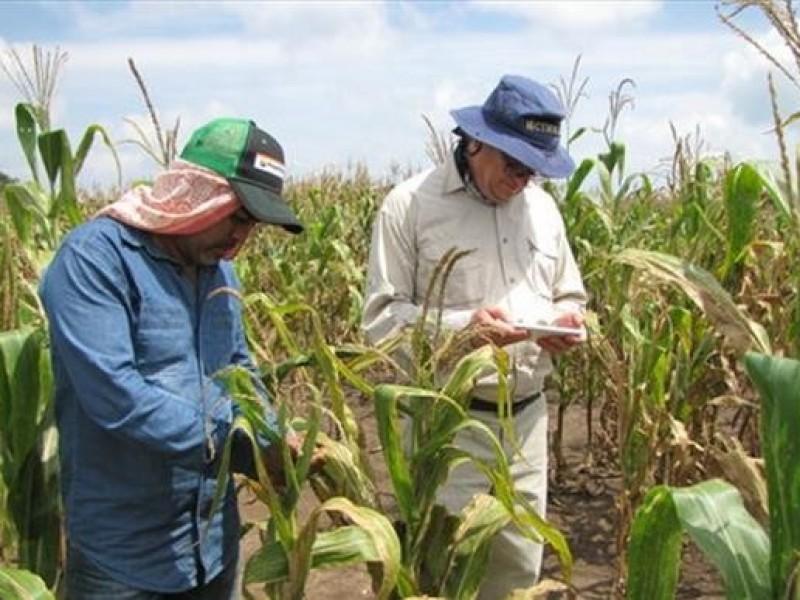 Productores de maíz en crisis
