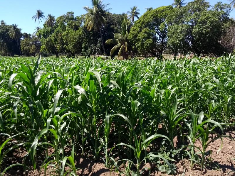Productores de maíz esperan buena cosecha este año