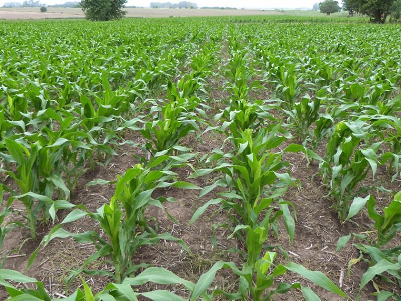 Productores de maíz se alistan para ciclo de cultivo