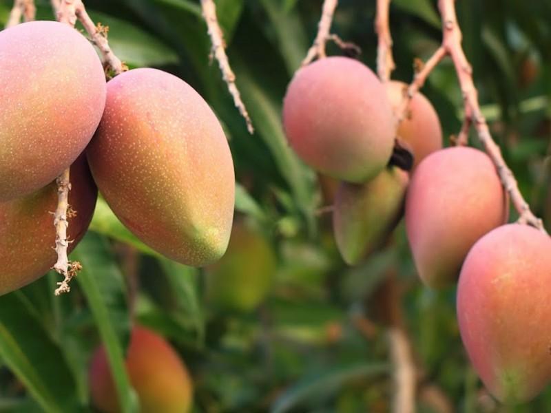 Productores de mango prevén pérdidas de 45% esta temporada