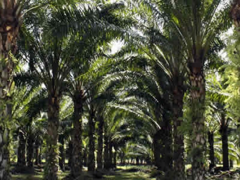 Productores de palma de aceite en crisis