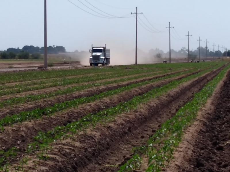 Productores del Yaqui seguirán con maíz