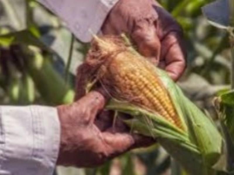 Productores de Maíz obtendrán cosecha sólo para pagar deudas