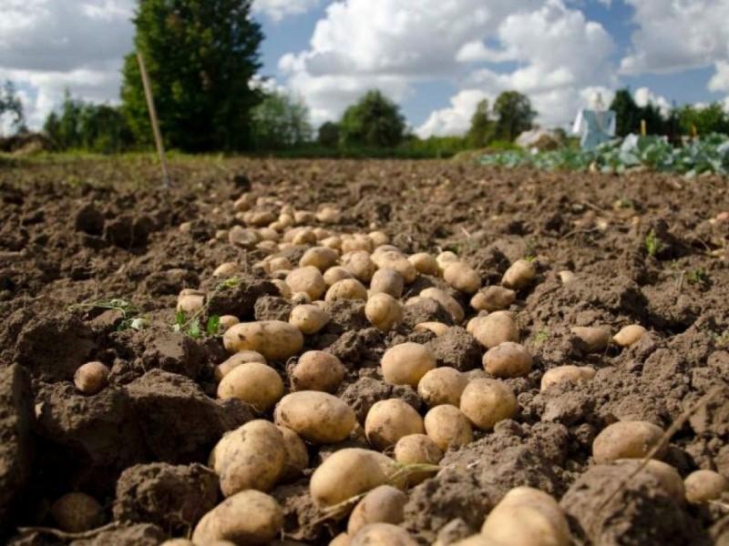 Productores se oponen a importación de papa fresca de E.U